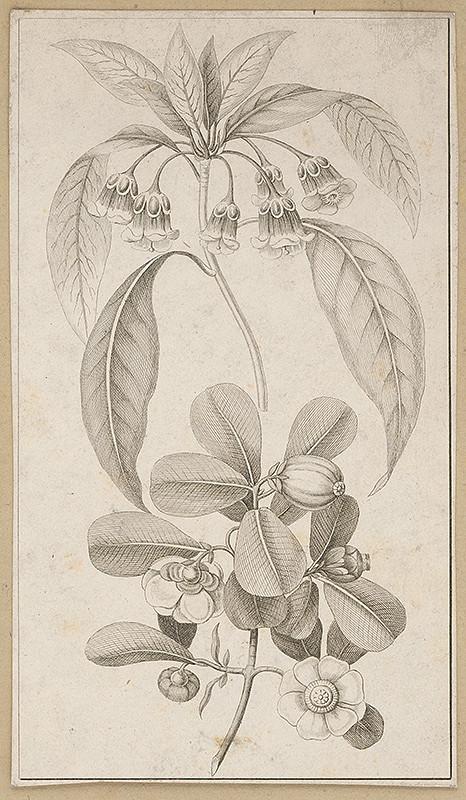 Stredoeurópsky maliar z 19. storočia - Rastliny