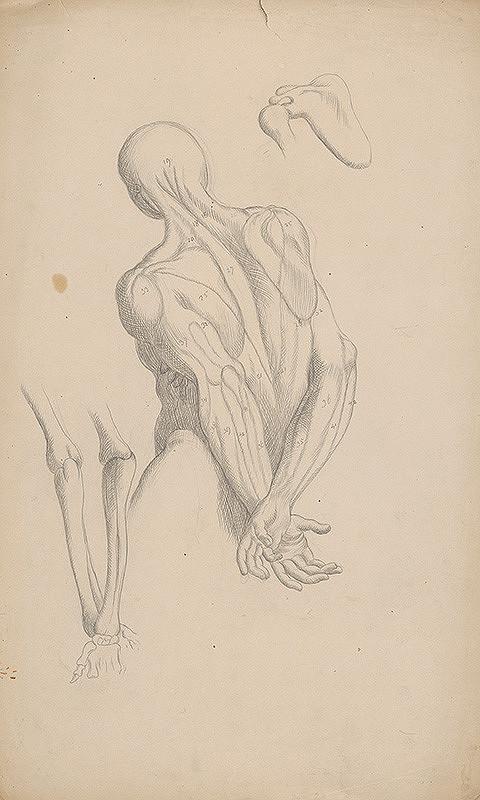 Stredoeurópsky grafik z 19. storočia - Štúdia svalov