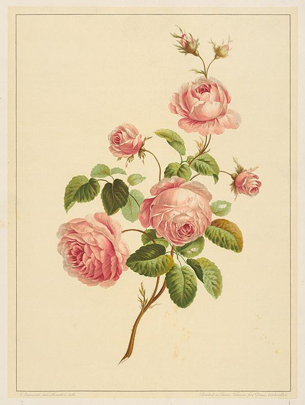Alphonse Jean Baptista Mourlot, F. Edwards – Šípová ruža