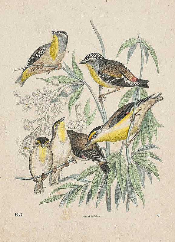Nemecký grafik z 19. storočia – Štúdie vtákov