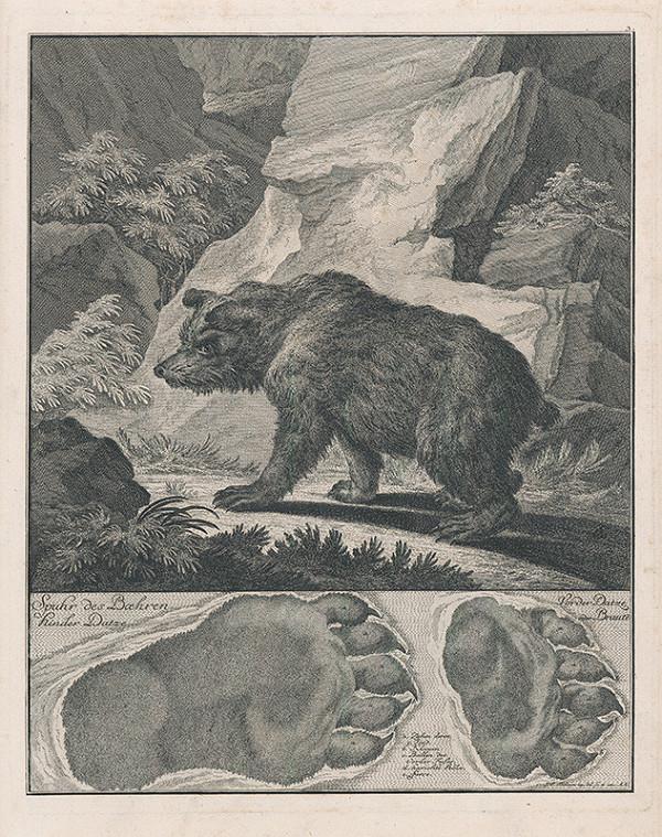 Johann Elias Ridinger – Medveď