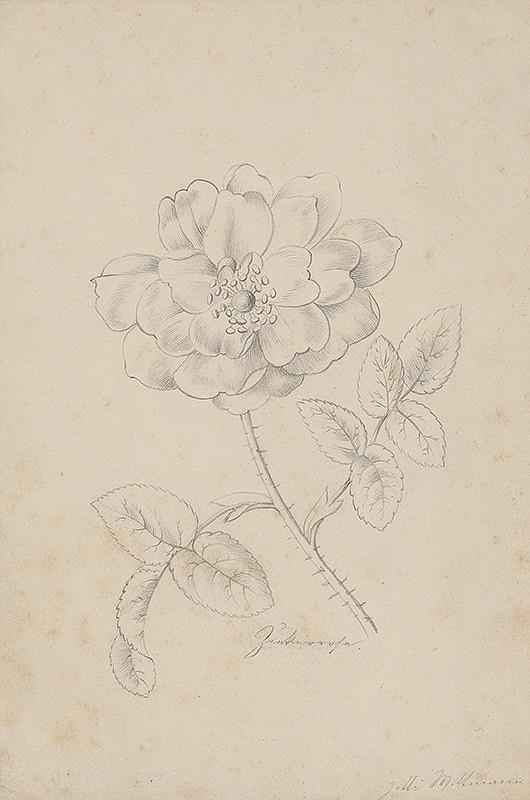 Henriette Jetti Wittmann - Štúdia ruže