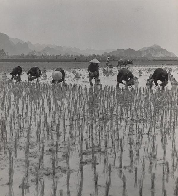Ján Cifra - Vietnam. Sadenie ryže