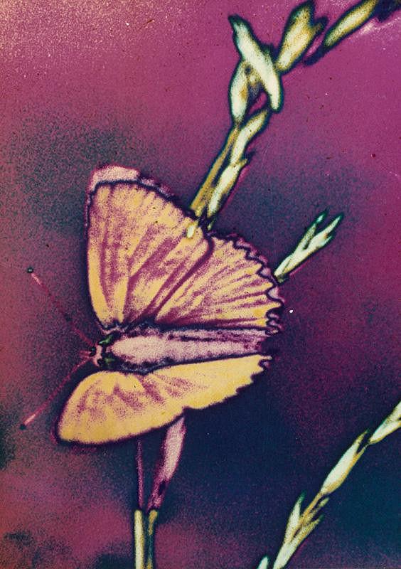 Teodor Andreas – Motýľ