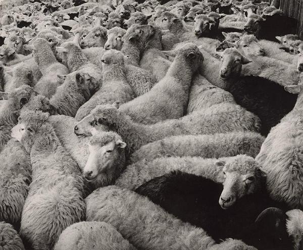 Martin Martinček - Ovce